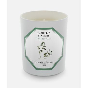 Carrière Frères Camellia Sinensis (The Tea Plant)